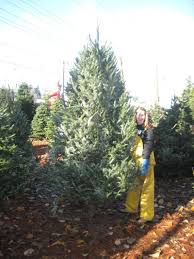 Kinds Of Christmas Trees by Contact Me