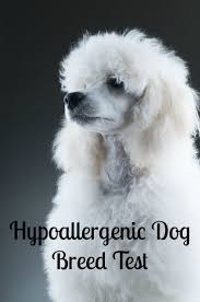 Tiny Non Shedding Dog Breeds by Best 25 Hypoallergenic Dog Breed Ideas On Pinterest Small