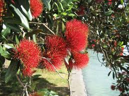 Christmas Tree Species Name by Australian Origin Likely For Iconic New Zealand Tree