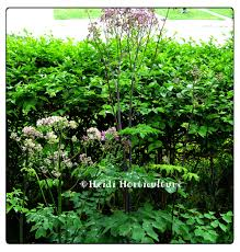 Christmas Tree Has Aphids by Heidi Horticulture Aphids On Thalictrum Rochebrunianum Meadow Rue