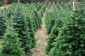 Balsam Christmas Tree Australia by Garden Plot Christmas Lavender Trees And Plant Thoughts Wtop