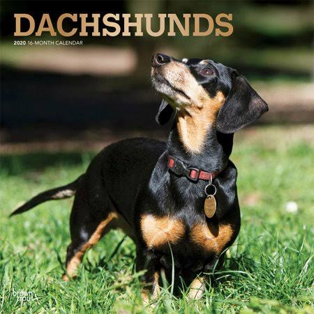 BrownTrout Dachshunds 2020 Wall Calendar