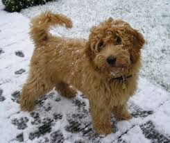 Tiny Non Shedding Dog Breeds by Miniature Labradoodle Dog Info Temperament Puppies Training
