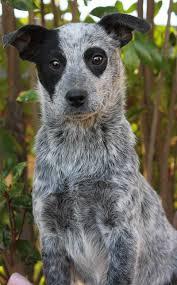 Blue Heeler Shedding In Winter by Australian Cattle Dog Border Collie Mix Australian Cattle Dogs