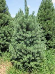 Colorado Springs Christmas Tree Permits by Hart T Tree Farms Wholesale