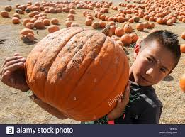 Cal Poly Pomona Annual Pumpkin Patch by Pomona Usa 24th Oct 2015 A Boy Carries His Selected Pumpkin