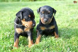 Tiny Non Shedding Dog Breeds by Miniature Pinscher Dog Breed Information Buying Advice Photos