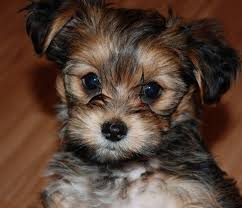 Tiny Non Shedding Dog Breeds by Shorkie