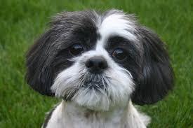 Tiny Non Shedding Dog Breeds by Shih Tzu Hypoallergenic Dog Secrets