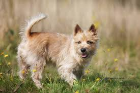 Tiny Non Shedding Dog Breeds by Most Popular Hypoallergenic Non Shedding Dog Breeds