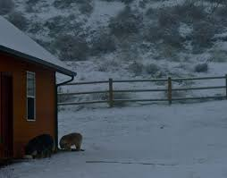 Blue Heeler Shedding In Winter by Morning Chores On The Juniper T With Fresh Snow And Artic Cold