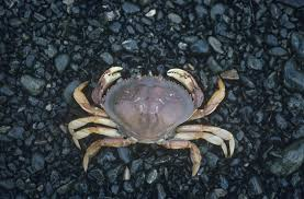 Deadliest Catch Boat Sinks Crew by Dungeness Crab Fishing Is Even More Dangerous Than Thought Hakai