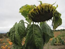 Pumpkin Patch North Bend Oregon by Giant Sunflower U2013 Img 3071 Freeheel Vegan