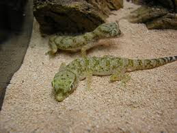 African Dwarf Frog Shedding Behavior by Dwarf Sand Gecko Stenodactylus Spp Care Sheet U003e U003e Amphibian Care