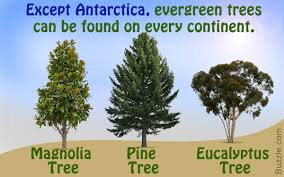 Christmas Tree Species Name by Types Of Evergreen Trees That Will Leave You Wonder Struck