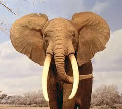 ¡Libertad al elefante africano!